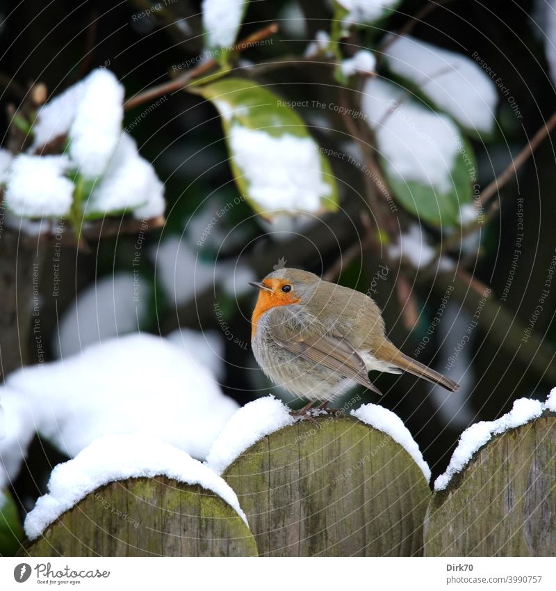 Robin on the garden fence in the snow Bird songbird Robin redbreast puffed up Cold chill Snow Fence Garden fence snow-covered Winter winter Frost Freeze Round