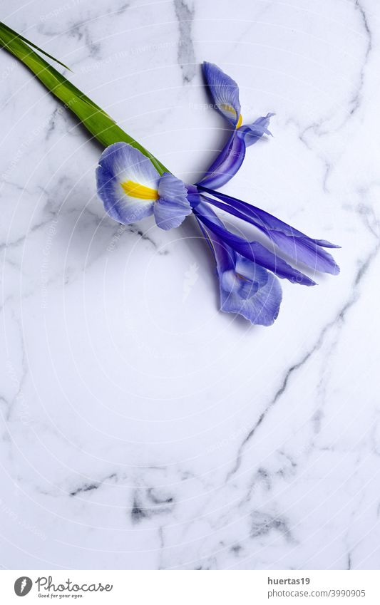 Blue lilies flower background with copy space blue purple gremanic iris flowers floral lily beautiful nature spring blossom plant beauty bloom blooming bouquet