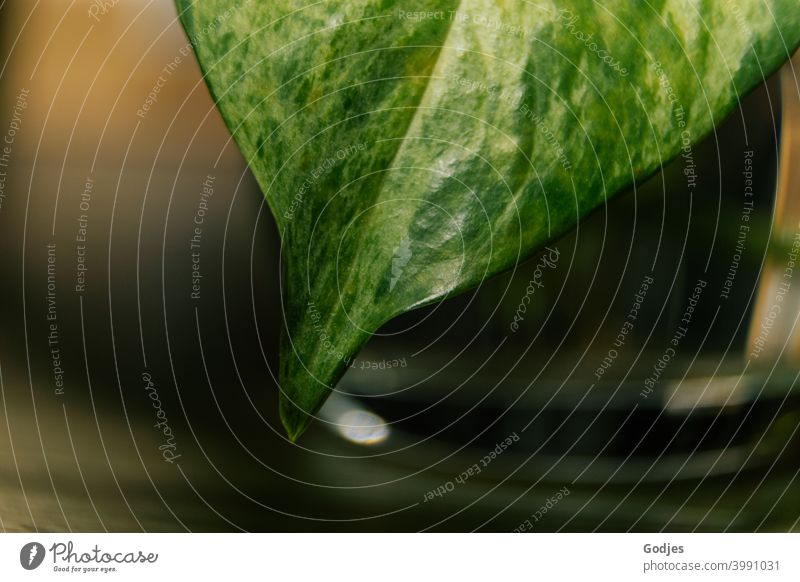 Detailed view of the leaf tip of an ivy plant Ivy Plant Green Nature Colour photo Leaf Deserted Creeper Tendril Foliage plant Growth Overgrown Wild plant