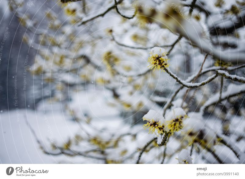 flowering tree with snow Winter Snow Gray White Cold chill snowflakes bokeh Snowfall blurred blurriness focus blossom Early spring onset of winter