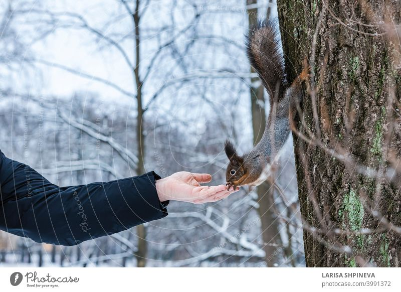 Curious squirrel sits on tree and eats nuts from hand in winter snowy park. Winter color of animal. curious wild nature wildlife cute forest rodent funny fluffy