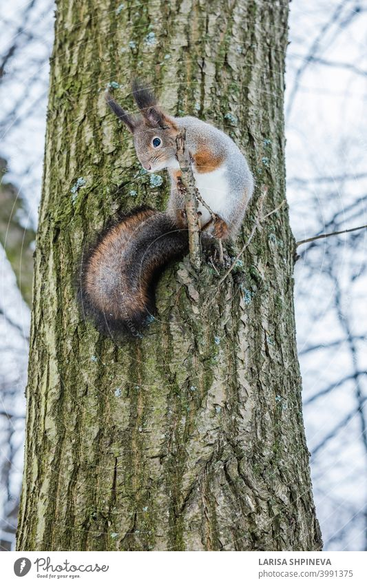 Curious squirrel sits on tree and looks down. Winter color of animal. curious fluffy cute nature forest brown tail wildlife red fur mammal background furry