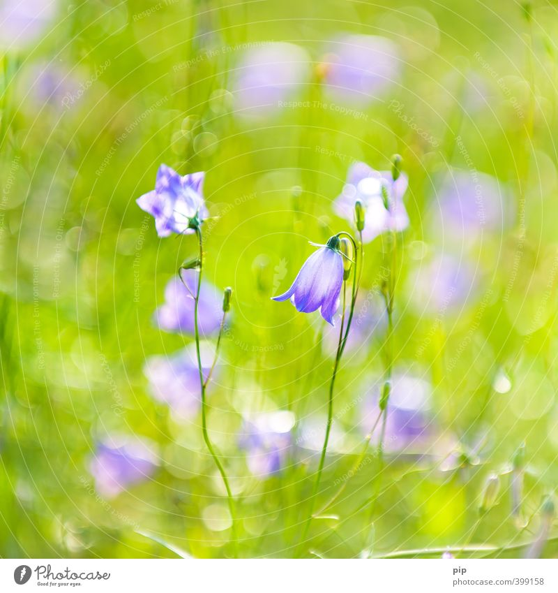 bell blues Nature Plant Summer Beautiful weather Flower Blossom Wild plant Bluebell Calyx Environment Garden Violet Green Blur Delicate Colour photo