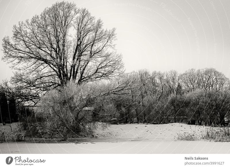 big oak on river bank in deep winter december beauty christmas nobody scenery environment frosty snowfall trees weather frozen snowy reeds season ice over