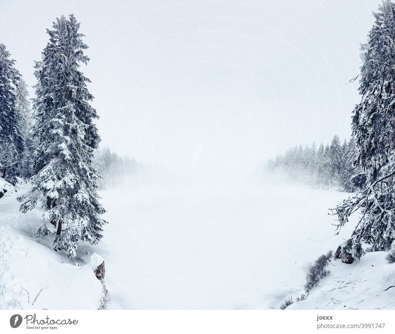 Firs in winter landscape with penetrating fog Landscape Winter Snow chill fir forest Lake frozen over Snail Fog Exterior shot Tree Nature Forest Environment