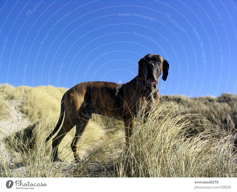 dog holiday Dog Mastiff Beach Ocean Vacation & Travel brindle Denmark Sand Beach dune
