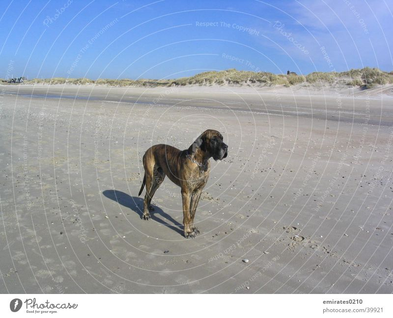 Ocean Beach Vacation & Travel Dog Sand Beach dune Denmark Mastiff