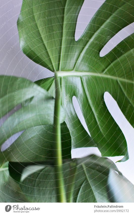 Monstera against white background Plant Flower floral Botany Isolated Image Green Environment Nature Leaf Rachis Close-up Decoration Urban gardening