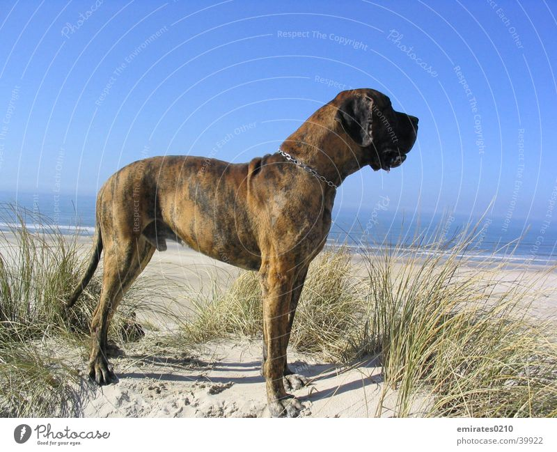 wanderlust Dog Mastiff Beach Ocean Vacation & Travel brindle Denmark Sand Beach dune