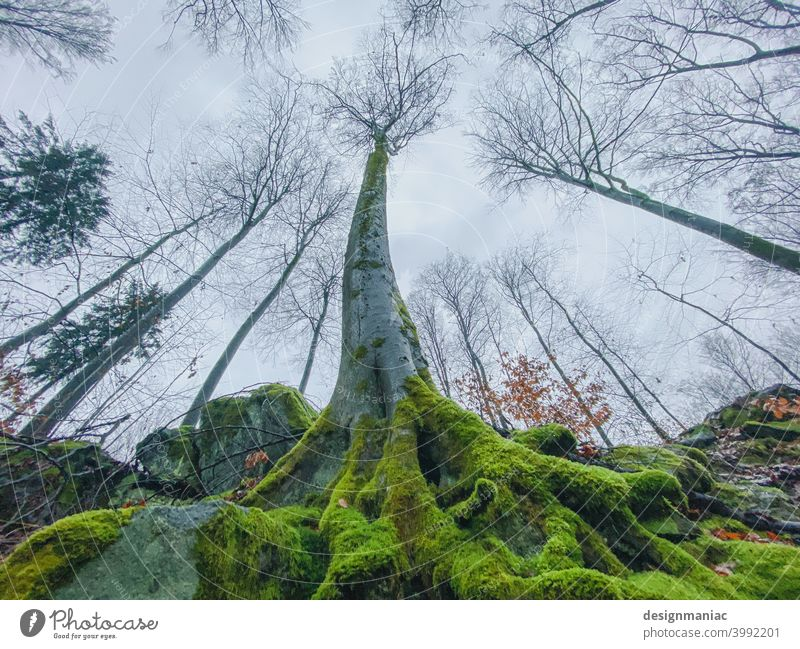 Yggdrasil Tree Moss Root flexed Forest clearing leafless leaves branches Exterior shot Plant Deserted Landscape Colour photo Environment Nature Light Autumn