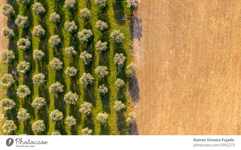Aerial view of olive trees forming a pattern of perpendicular lines and brown field olive tree's tree shadow shadows agriculture drone view green farm parallel