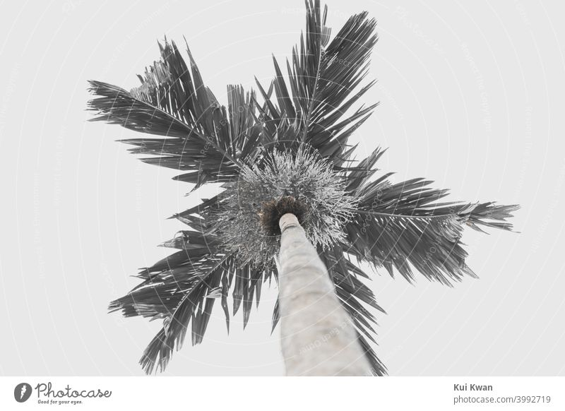 Palm tree from Hawaii in black and white aesthetic look shot from bottom-up with empty sky Tropical bottom view Sky Empty Black & white photo Aesthetics chill