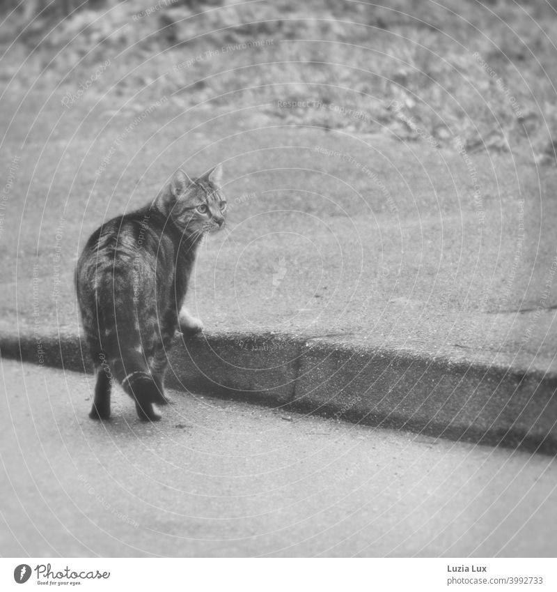 Tiger cat has crossed the street and now pauses at the curb, looking suspiciously into the camera Cat Tabby cat Street Roadside Curbside Exterior shot Deserted