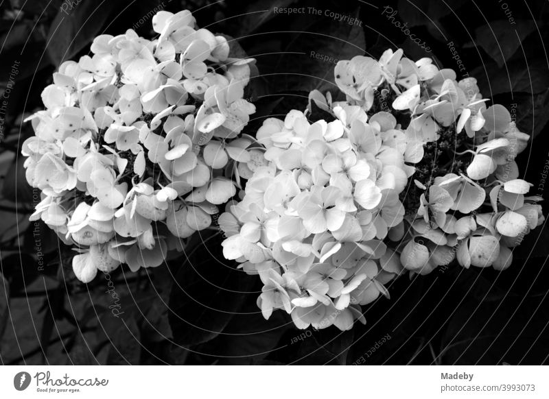 Blooming flame flower or phlox in summer in a garden on a farm in Rudersau near Rottenbuch in the district of Weilheim-Schongau in Upper Bavaria, photographed in classic black and white
