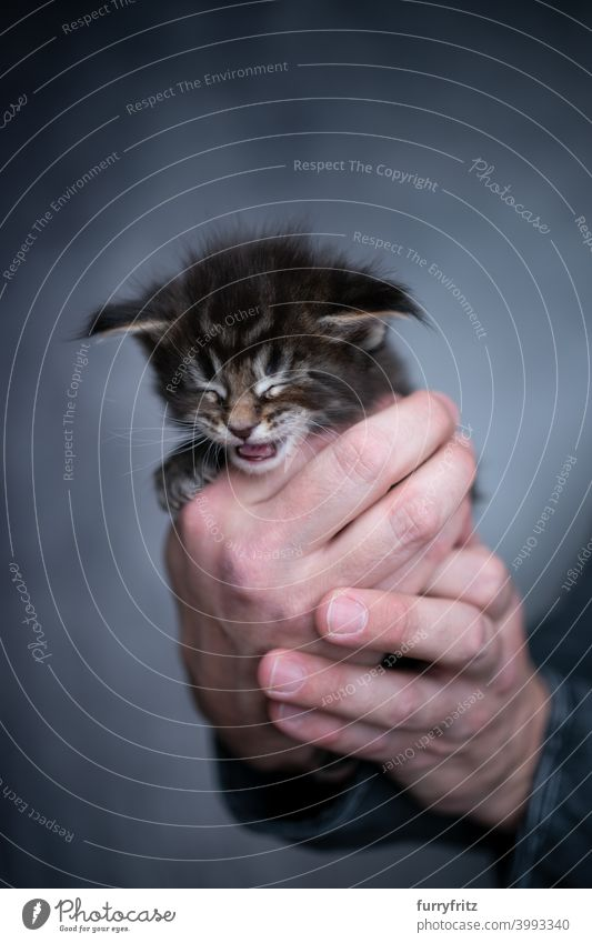 male human hands holding small kitten cat beautiful tiny cute adorable studio shot fluffy fur feline maine coon cat one animal pet owner carrying care