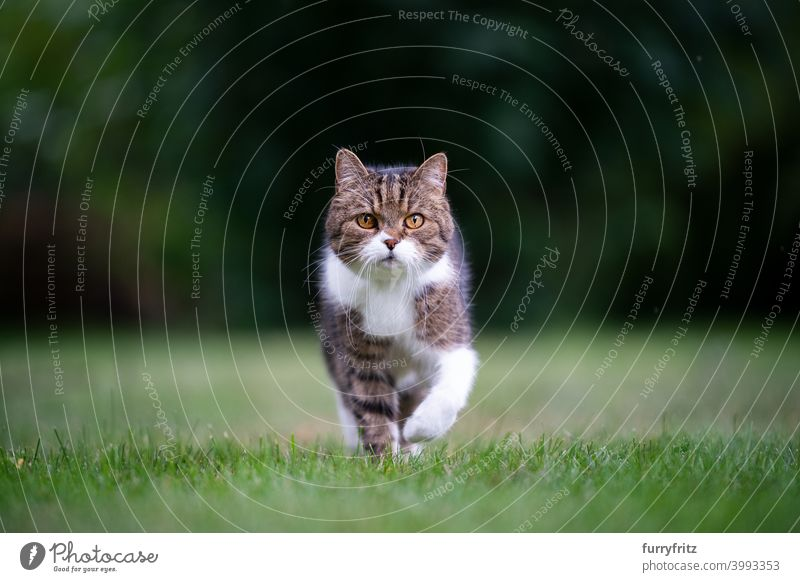 cat walking towards camera on lawn looking at camera meadow grass garden front or backyard determined copy space shallow depth of field nature green