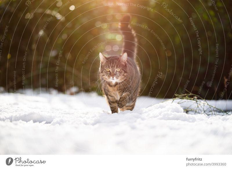 tabby cat walking in snow winter wintertime white outdoors garden front or backyard nature looking sunlight sunny fur feline