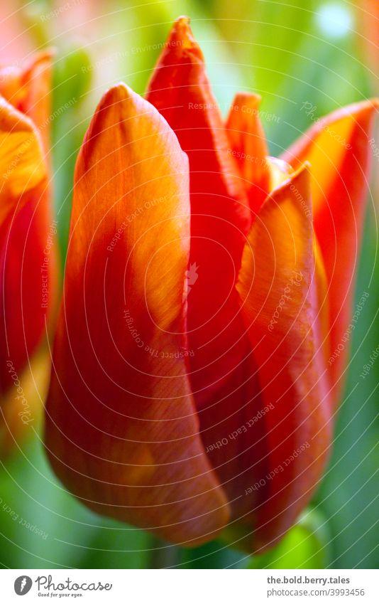 Tulip orange Flower Orange Blossom Spring Plant Colour photo Interior shot Bouquet Nature Illuminate Blossoming Day