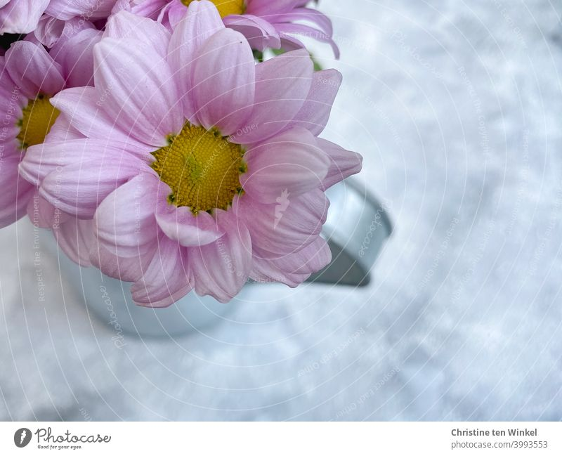 Top view of pink flowers in a silvery metal jug standing on marbled light background. The underground looks like snow... Chrysanthemums Chrysanthemum Flowers