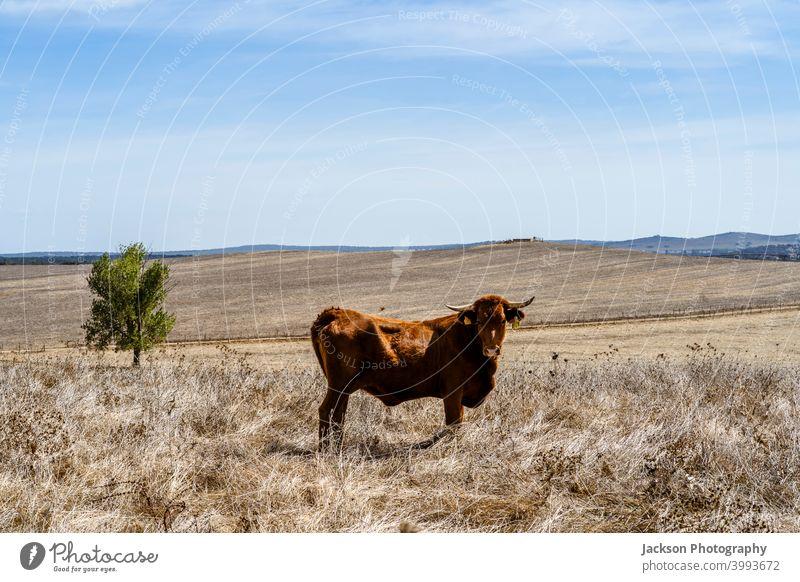 Red cows grassing on dry meadows of Alentejo, Portugal cork landscape animal alentejo trees red sky oak portalegre free range alto alentejo view industry breed