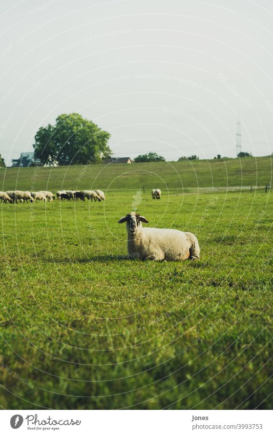 sheep in the country Green Sheep Herd Grass Sky Field cute blurred tart Meadow Willow tree Llama Summer Spring North observantly Animal Landscape out