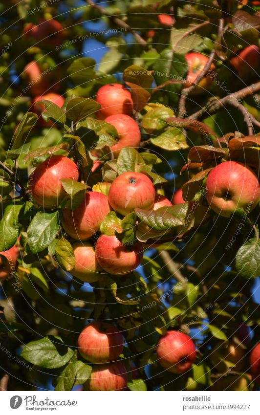 Apples in | green, yellow, red apples Apple tree Mature Delicious Fruit Harvest reap Summer Tree Yellow Orange Red luminescent Sunlight sunshine Brilliant