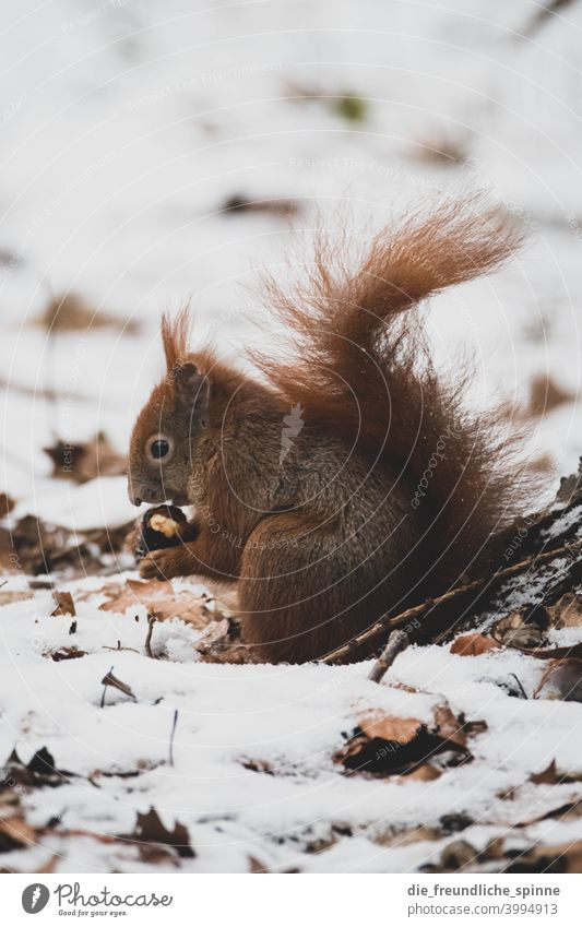Winter squirrel Squirrel oakhorn rodent Snow To feed nuts Sámen Mammal Wild animal Nature Animal Colour photo Brown Exterior shot Animal portrait Rodent Pelt