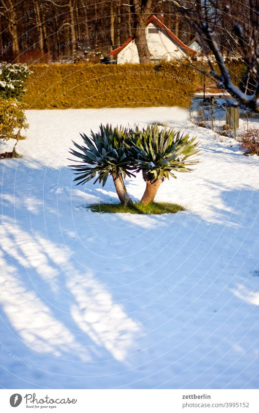 Yacca in winter Branch Tree Relaxation holidays Garden allotment Garden allotments Deserted Nature Plant tranquillity Snow Snow layer Garden plot trunk shrub
