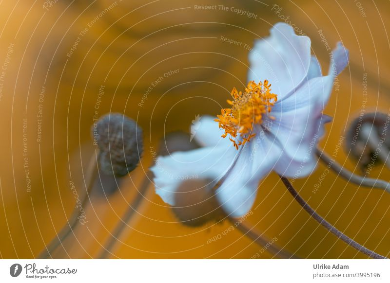 Flower of a white anemone in the evening light blurriness Neutral Background Isolated Image Deserted Macro (Extreme close-up) Detail Close-up Colour photo