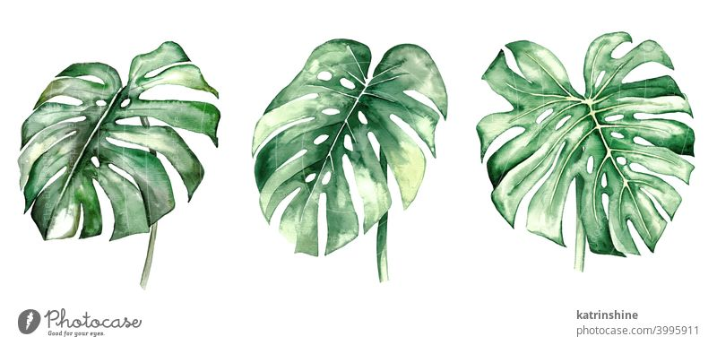 Watercolor monstera tropical leaves illustration watercolor Drawing green jungle paper Botanical Leaf exotic Hand drawn Ornament Plant Foliage Paint Isolated