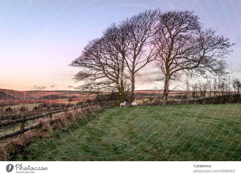 At daybreak on this December morning, both sheep stand in the far corner of the gate, by the big beeches Nature Landscape trees Book Meadow Hedge Grass Dew