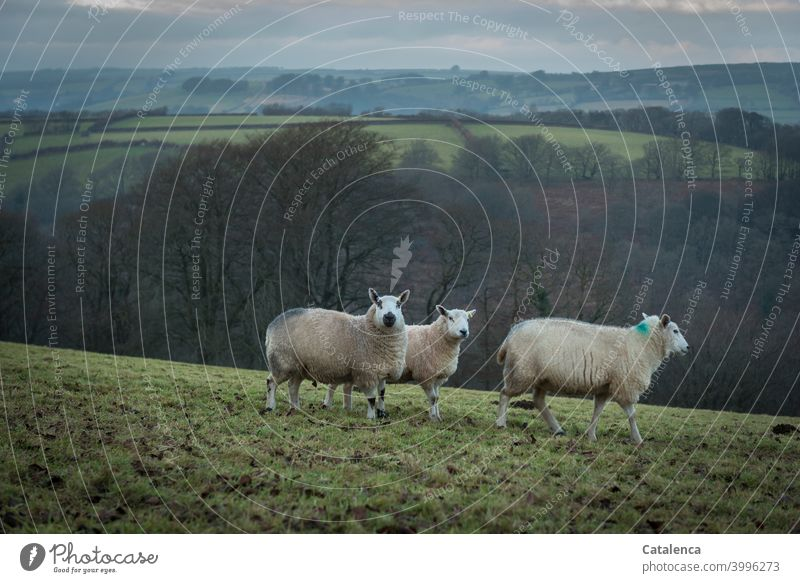 Three sheep on a winter pasture Season Winter daylight Day Sky Horizon Farm animals Grass Hedge Meadow trees Landscape Nature Clouds Wool Agriculture