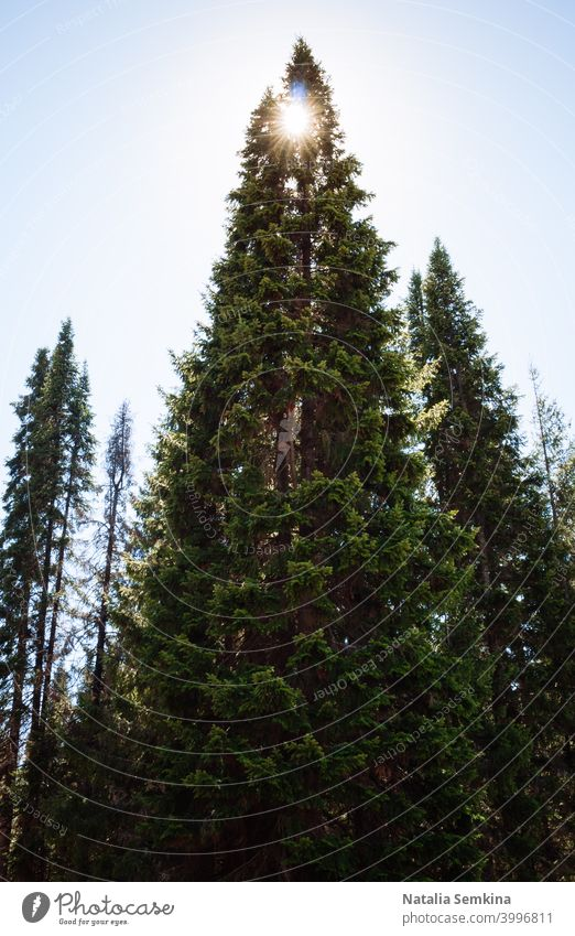 High green fir tree and sun shining through her top. spruce coniferous tall vertical landscape background beautiful big branch bright day environment forest