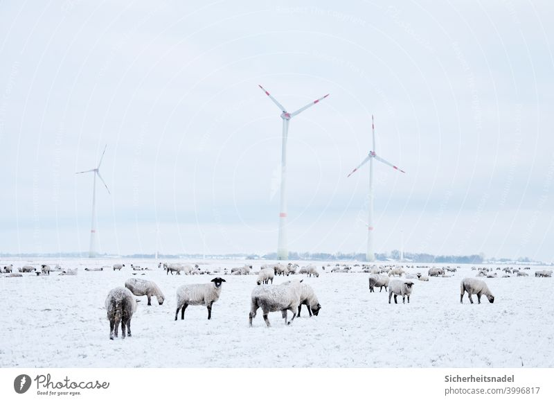 Sheep on snow covered meadow sheep Flock Sheepher Group of animals Exterior shot Herd Meadow Farm animal Deserted Landscape Day windmills Country life Snow