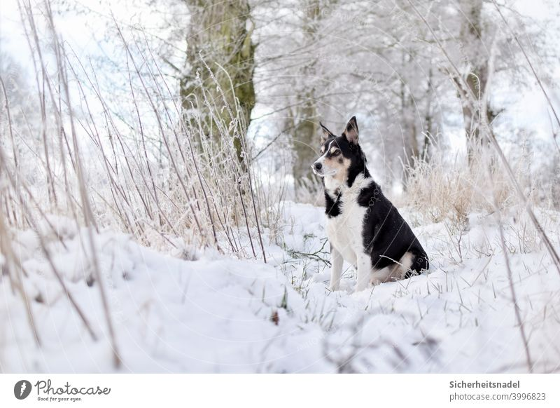 Watchful dog in the snow Dog Pet Exterior shot Animal portrait Deserted Day border collie Snow Colour photo Herding dog Nature Observe Watchfulness Winter White