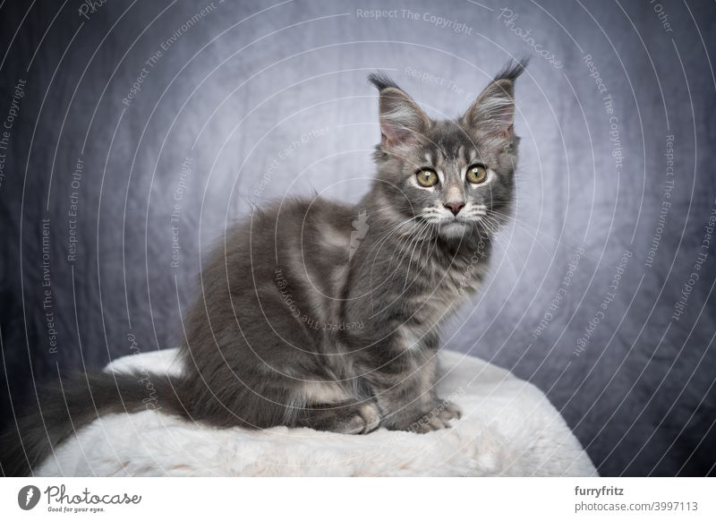 blue tabby gray maine coon kitten portrait cat maine coon cat longhair cat purebred cat pets fluffy fur feline white cute adorable beautiful one animal indoors
