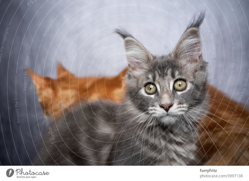 cute maine coon kitten portrait with copy space and another cat walking in the back maine coon cat longhair cat purebred cat pets fluffy fur feline ginger cat