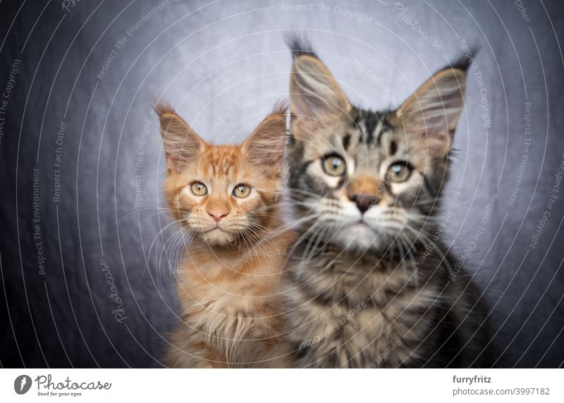 two different colored maine coon kittens sidy by side cat maine coon cat longhair cat purebred cat pets fluffy fur feline ginger cat gray white tabby cute