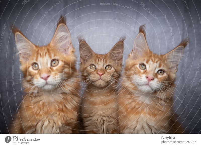 group of three ginger maine coon kittens sidy by side cat maine coon cat longhair cat purebred cat pets fluffy fur feline ginger cat gray white tabby cute