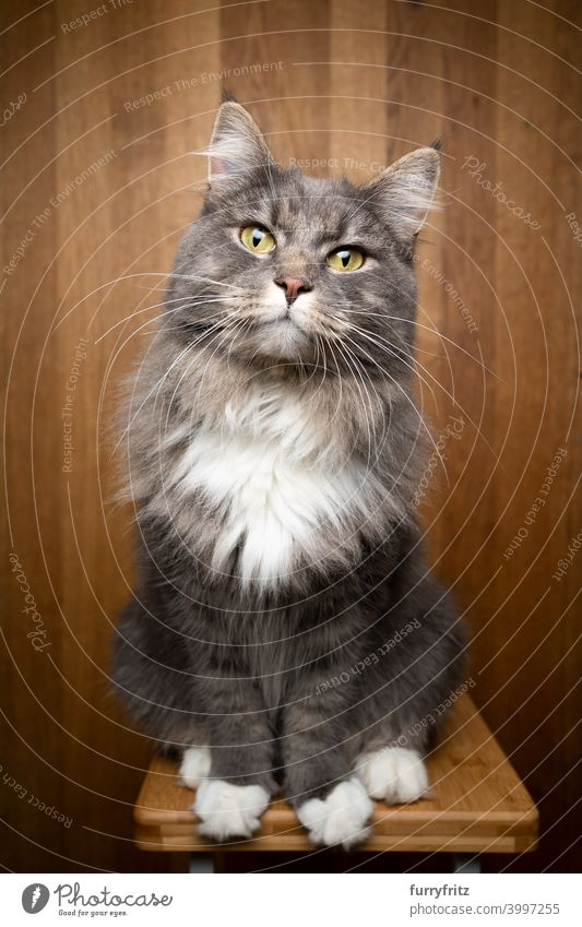 curious cat on wooden background studio shot portrait one animal indoors maine coon cat blue tabby fluffy fur feline gray white looking at camera cute adorable