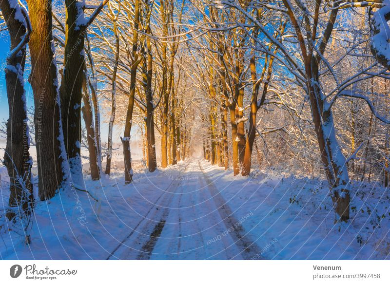 Forest road in winter with snow, on the way side large oak trees Forest path forest woods grass branch branches nature lumbering lumber industry timber industry
