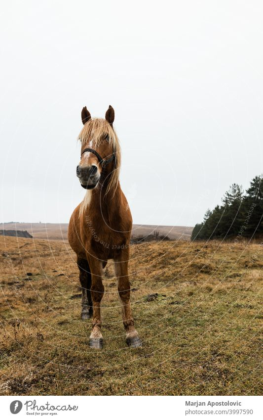 Beautiful brown horse on the field in early morning animal autumn beautiful beauty breed chestnut cloudy countryside dawn domestic europe farm farmland freedom