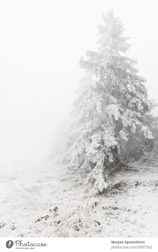 Fir trees covered in snow in the mountains adventure background beautiful cloud cloudy cold environment evergreen fir fog foggy forest frost frozen haze