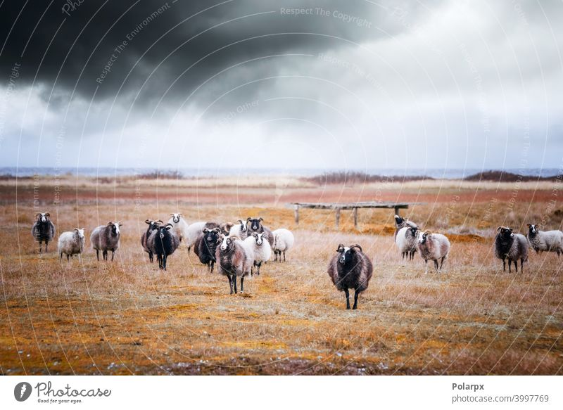Goat flock in cloudy weather by the sea season country rain domestic mammal fur beautiful graze highlands environment wilderness day rural countryside storm