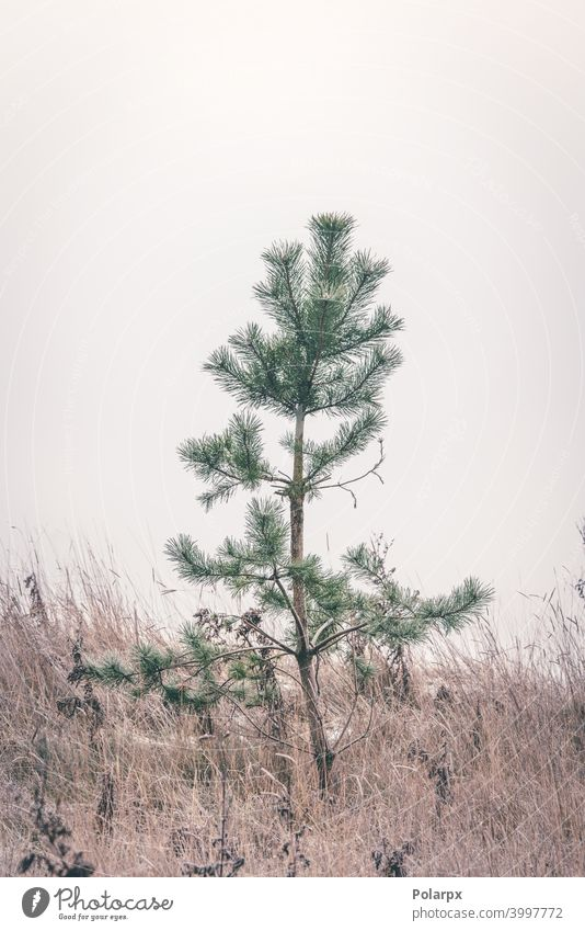 Small pine tree standing alone in frozen grass small matte beauty seed winter scene small pine scandinavian autumn minimal decor calmness minimalistic evergreen