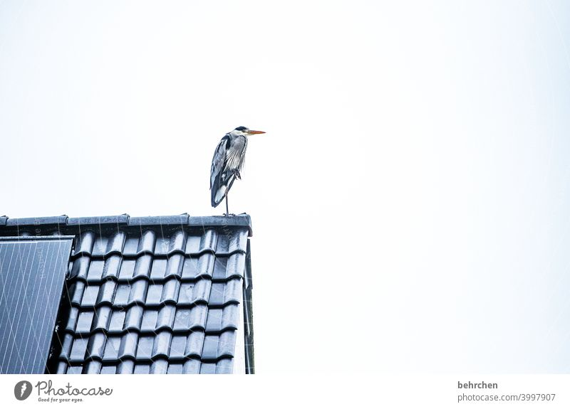 So, any fish today? Roof Bird herons Grey heron Heron Observe on the lookout feathers pretty Colour photo Animal Wild animal Exterior shot Nature