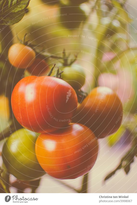 The own tomatoes are almost ripe tomato plant Vegetable Food salubriously Delicious Red Mature own cultivation Vegetarian diet Tomato Healthy Eating Nutrition