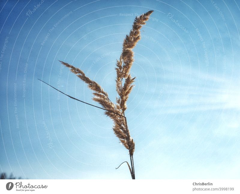 Reed in the blue sky Common Reed Sky Blue Nature Colour photo Exterior shot Plant Day Beautiful weather Landscape Environment Clouds Sunlight