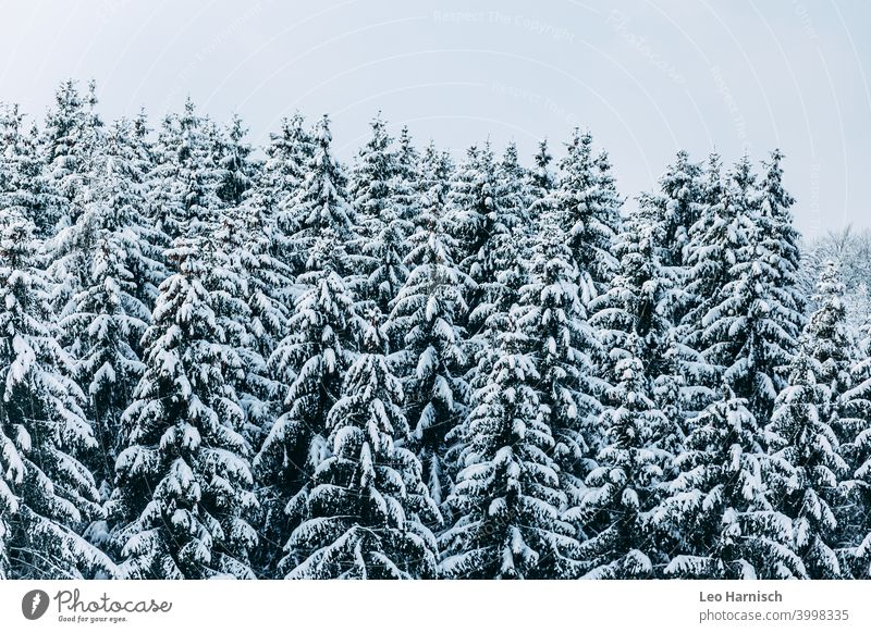 Winter coniferous forest Snow trees December January Cold Frost Nature Ice Weather Freeze White Tree Landscape Environment Winter forest Forest chill