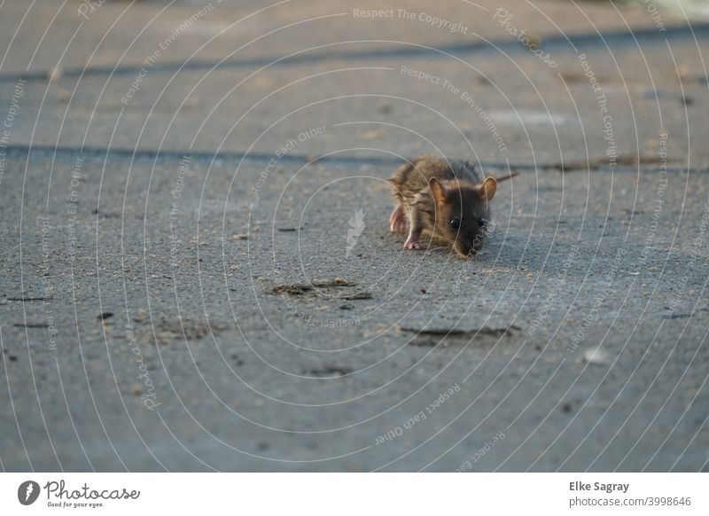 Mice in search of food... Animal Mammal Deserted Rodent Pelt Wild animal Squirrel Brown Exterior shot
